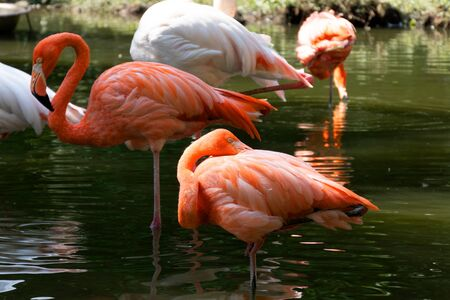 Beautiful pink flamingos stands in the water.One bird scratches its back with its beak. Reflection of a bird in the water. A flock of pink birds in a nature park. Sunny day, green trees near the water. 写真素材