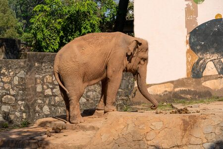 A little sad little elephant lowered his trunk to the ground. Summer sunny day, stone fence.