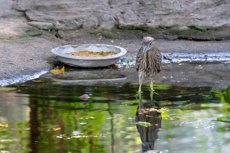 Carrier, bird of the snipe family. Sandpiper is a gray bird in the zoo next to a plate of food. Reflection of a bird in the water.  Snipe looks forward. Stock Photo