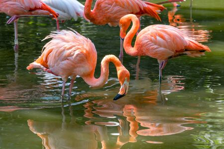 Beautiful pink flamingos stands in the water. A bird looks into the water in search of food. Reflection of a bird in the water. A flock of pink birds in a nature park. Sunny day, green trees near the water. 写真素材