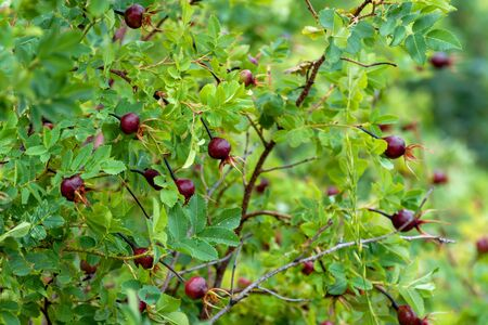 Green shrub of rose hips of red color. Bright sunny summer day. Rosehip bush branch with berries.