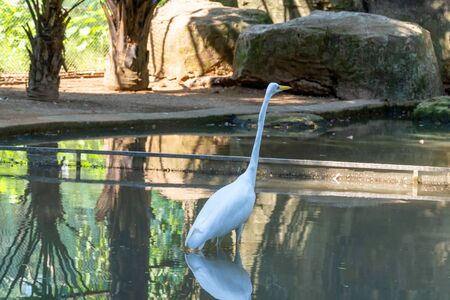 A white waterfowl with a yellow beak stands in the water. A heron with a long neck looks up. Zoo with a pond and reflection of a bird in the water. Big stone on the shore of the pond.