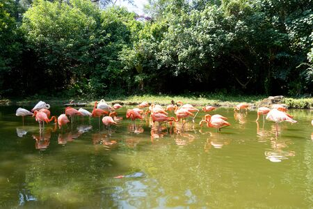 A large group of pink flamingos stands in a pond. A flock of pink birds in a nature park. Sunny day, green trees near the water.