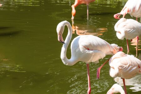 White beautiful flamingos in the water. A group of birds stands with reflection in the water. Sunny day, green trees near the water. Reflection of a bird in the water in a nature park. 写真素材