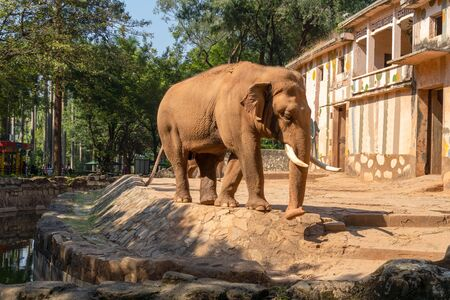 A brown elephant walks in the zoo along the edge of the reservoir. Elephant with white tusks near the wall. Summer sunny day, stone fence. Animal in the leaves.