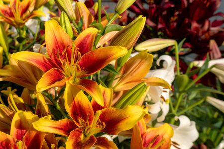 Beautiful daylily orange flower. Several colors of closeup pistils. Summer is a sunny day. Hemerocalls fulva