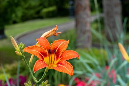 Beautiful daylily orange flower close-up. One flower blossomed on a green background. Hemerocalls fulva. Summer is a sunny day. 写真素材