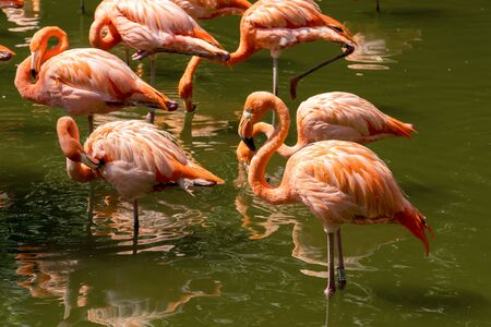 Beautiful pink flamingos stands in the water. A group of birds stands with reflection in the water. Sunny day, green trees near the water.