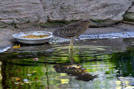 Carrier, bird of the snipe family. Sandpiper is a gray bird in the zoo next to a plate of food. Reflection of a bird in the water. Snipe looks away. 写真素材