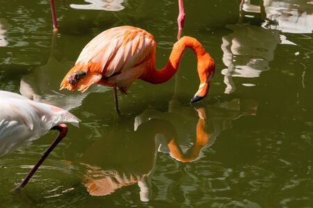 Beautiful pink flamingos stands in the water. The bird stands on one paw and its beak touches the water. Reflection of a bird in the water in a nature park. Sunny day, green trees near the water. 写真素材