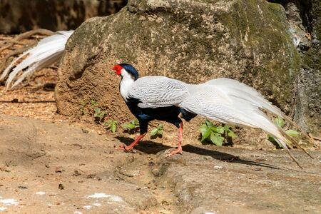 A beautiful white pheasant walks on the ground. Black head and fluffy tail. A bird goes behind a stone to another pheasant. Summer sunny day at the zoo.