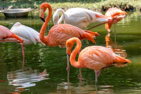 Beautiful pink flamingos stands in the water. Two birds stand side by side on the same paw. Reflection of a bird in the water in a nature park. Sunny day, green trees near the water.
