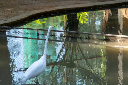 A white waterfowl with a yellow beak stands in the water. A heron with a long neck looks up. Zoo with a pond and reflection of a bird in the water.