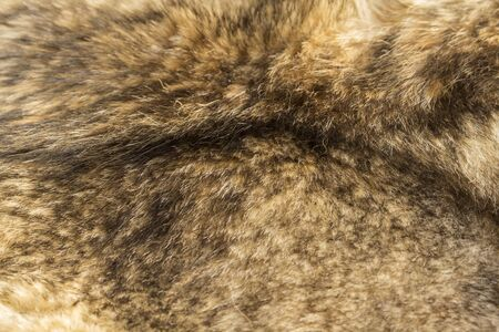 pelt: the background texture of the fur pelt of a wild Wolf