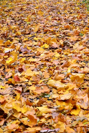 shrubs: Beautiful colorful autumn leaves on a sunny day in the park  Stock Photo
