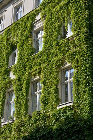 House with walls covered with natural green plants as vertical garden Standard-Bild