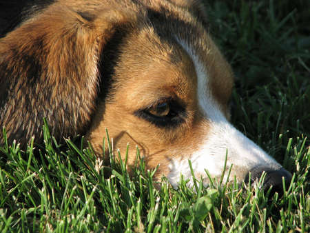 sick day: A closeup of a beagle on the grass