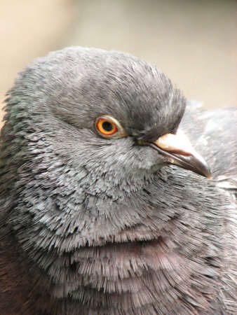redeye: Head of a street pigeon