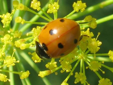 Coccinella septempunctata Stock Photo - 11973930