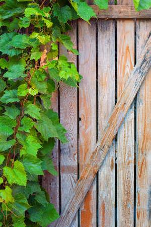 vine leaves: Green vine leaves on an old door