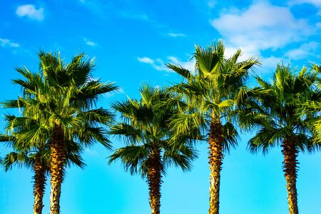 Palm trees. In the background is a turquoise blue sky and fluffy white clouds. In the distance you can see a forest of palm trees. The sun shines by day.