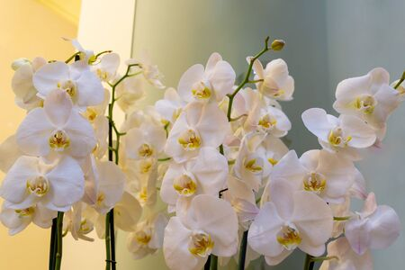 White and pink orchids, close up. Background in the bokeh. Beautiful flowers Фото со стока