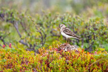 sandpiper sparrow resting on a hill on a background of blooming spring northern nature