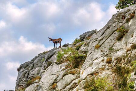 young chamois on a rocky cliff, fauna Biokovo