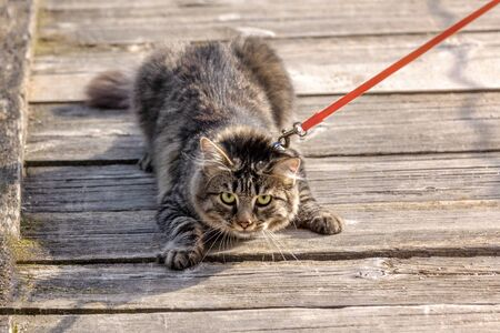 scared gray cat walks on a leash, selective focus