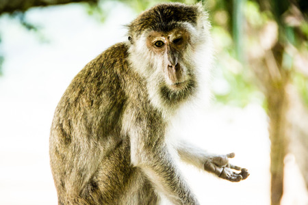 what if: A cute monkey showing his palm as if begging for money or asking \what do you want?\. Spotted at Baco National Park, Sarawak, Malaysia. Stock Photo