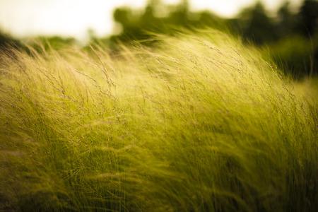 angel hair: angel hair hierba