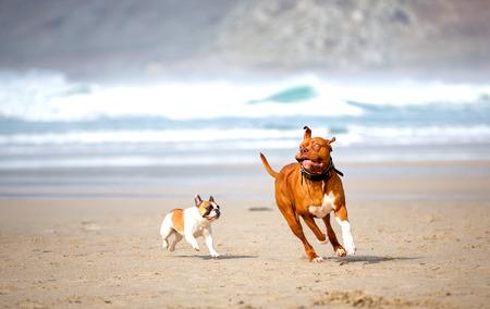 honden spelen op het strand Stockfoto
