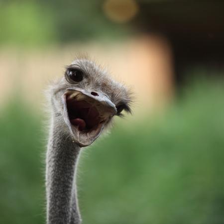 caras chistosas: Avestruz retrato en el zoo Foto de archivo