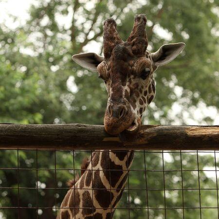 Giraffe portrait in the zoo Stock Photo - 10319976