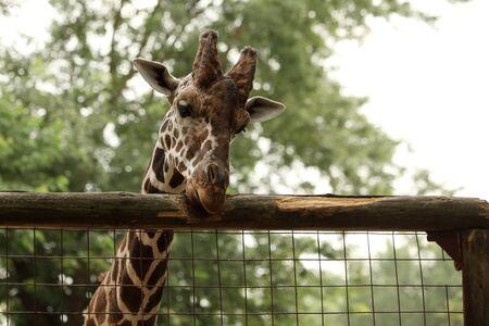 Giraffe portrait in the zoo Stock Photo - 10319985