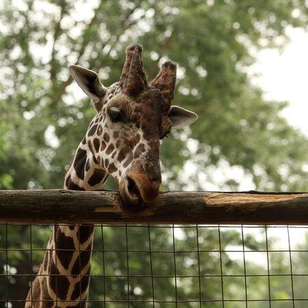 Giraffe portrait in the zoo Stock Photo - 10319979
