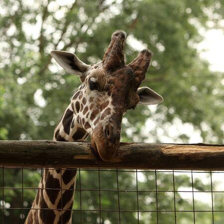 Giraffe portrait in the zoo Stock Photo - 10319967