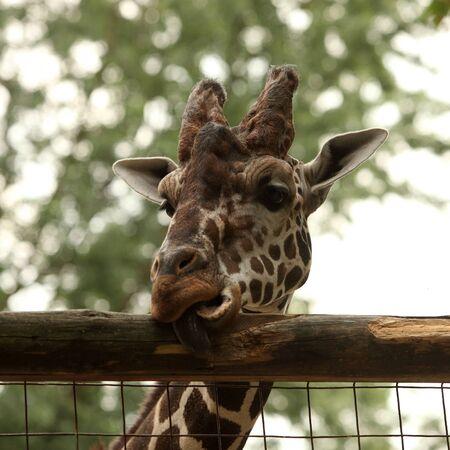 Giraffe portrait in the zoo Stock Photo - 10319988