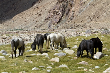Horses feed in Himalayas Mountains photo