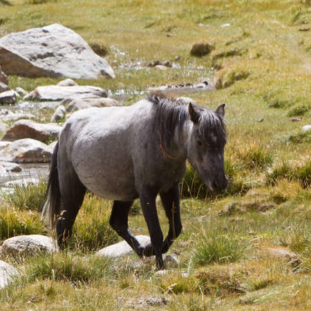 Horse feed in Himalayas Mountains photo