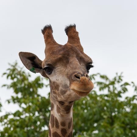 Girafe dans le parc safari de Crim�e