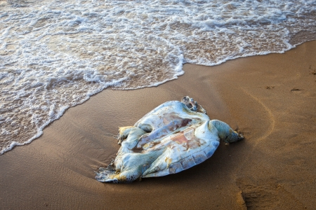 A dead turtle on the Indian Ocean
