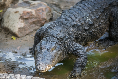 Crocodile in the Indian Reserve Stock Photo - 18728845