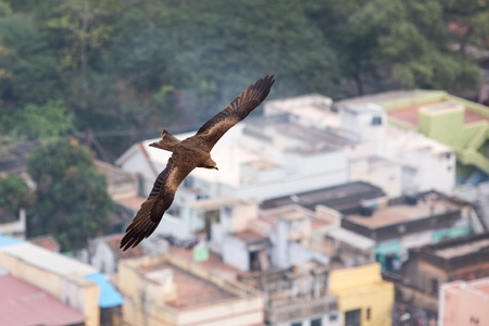 Eagles are flying over the roofs of the Indian city of Madurai photo