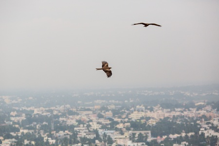 Eagles are flying over the roofs of the Indian city of Madurai