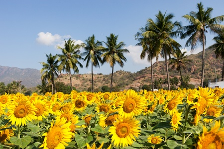 Sunflower field in Kerala. India photo