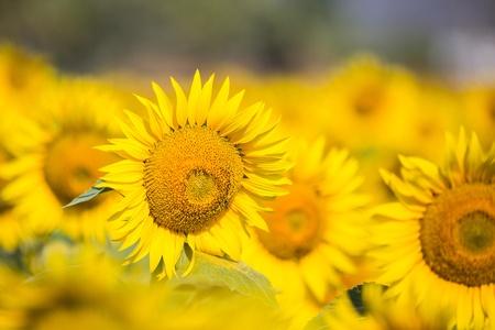 Sunflower field in Kerala. India photo