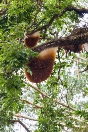 Honeycomb hanging high in the trees photo