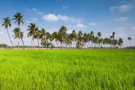 Palm trees on a background of green rice field photo