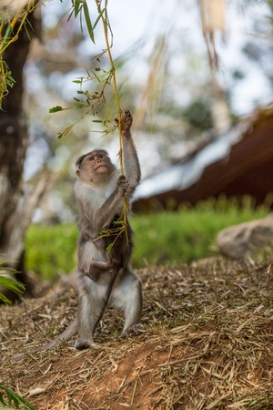 primacy: Family of monkeys in an Indian reserve